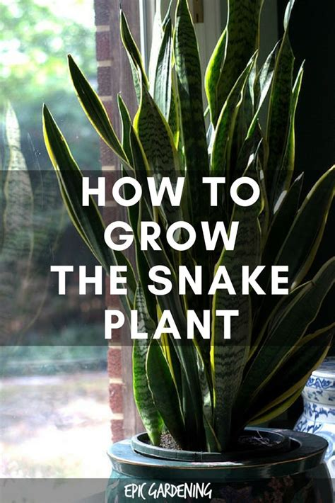 snake plant care growing  mother  laws tongue