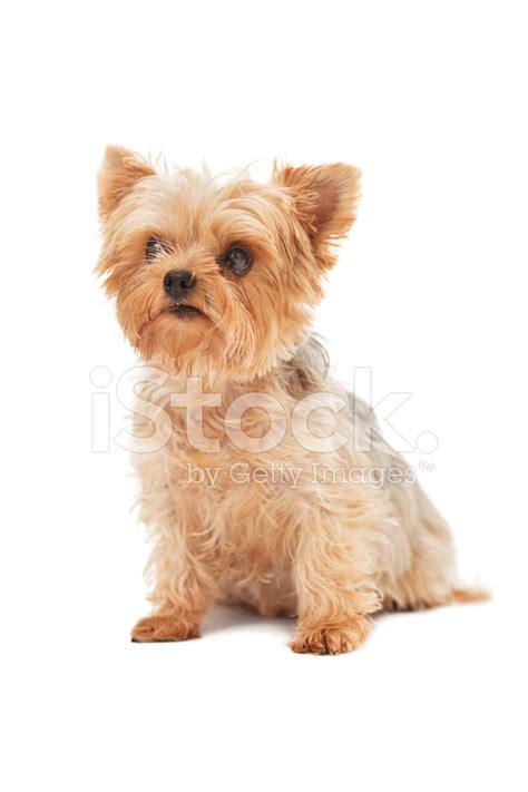 yorkie serenity yorkieserenity premium yorkies from yorkshire terrier sitting down and looking away stock