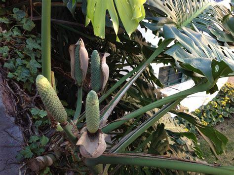 called  delicious monster sunils garden