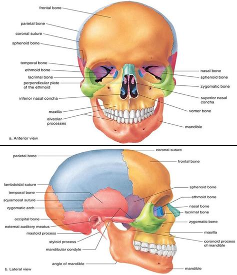 skull anatomy best 25 bones ideas on