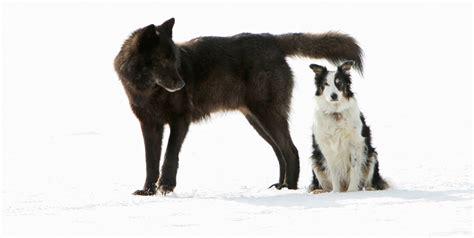 romeo the pug how a wolf named romeo won hearts in an alaska suburb