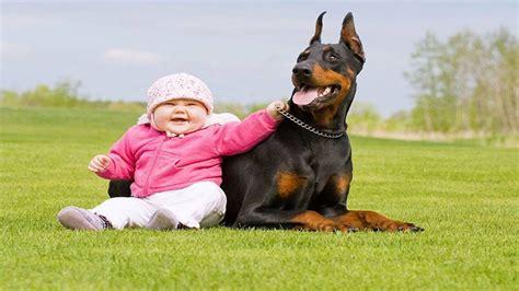 dogs protecting babies dogs protecting babies compilation 2015 16