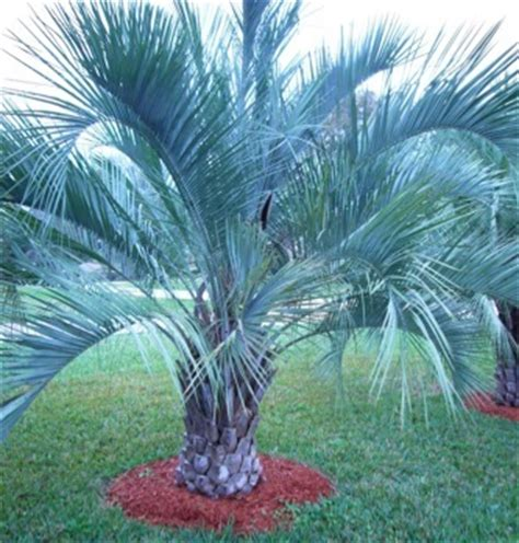 Floor And Decor Kennesaw Georgia 100 best 25 palm tree fruit no fronds on palm tree