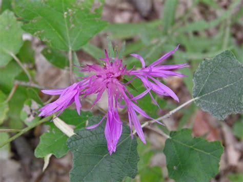 fiori spontanei viola fiori ed erbe spontanee rosso rosa viola