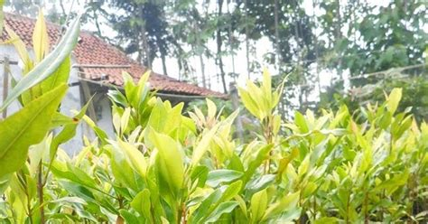 Bibit Cengkeh Ukuran 1 Meter mengenal tanaman cengkeh lebih jauh bibit kayu dan