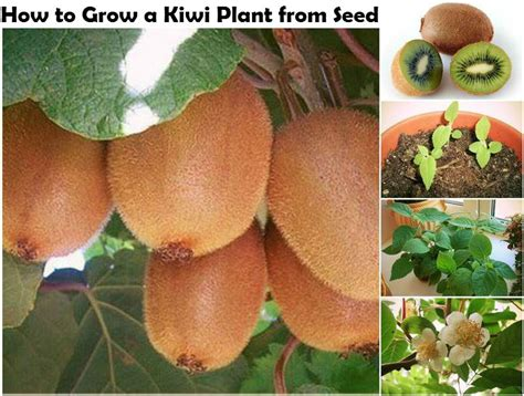 how to grow a kiwi plant from seed do it yourself ideaz