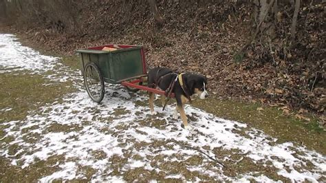 Ae Pulls Dogs Show For Foreseeable Future by Greater Swiss Mountain Carting Wood