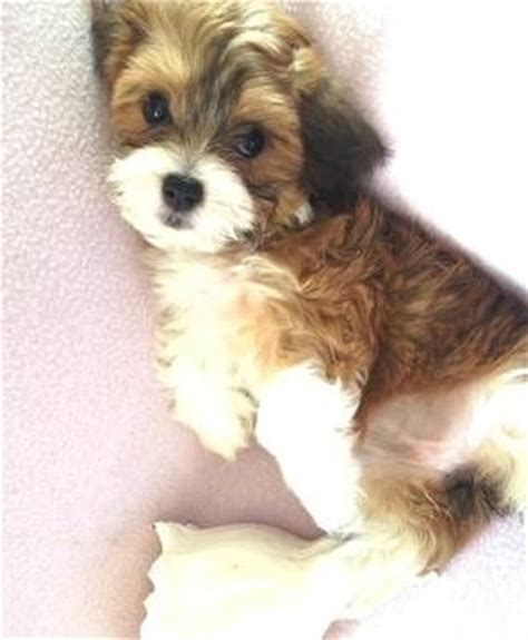 havanese and cats havanese puppies puppys and abyssinian cat on