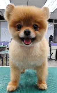 clipped pomeranian teddy cut pomeranian