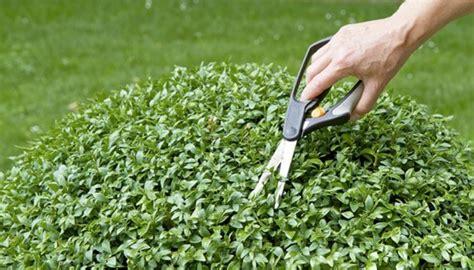 buchs schneiden wann buchs schneiden buchsbaum schneiden wann garten