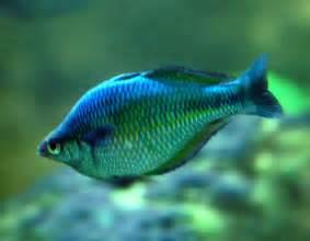 Fish S Boeseman S Rainbow Fish