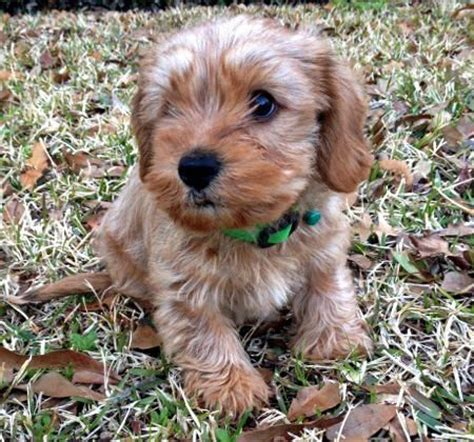 golden retriever yorkie mix puppies 25 best ideas about dachshund mix on golden dachshund golden retriever