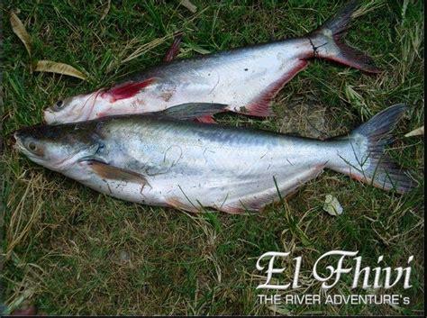 mancing ikan patin kolam harian   umpan