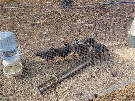 guinea fowl housing guinea fowl housing plans 187 razor family farms