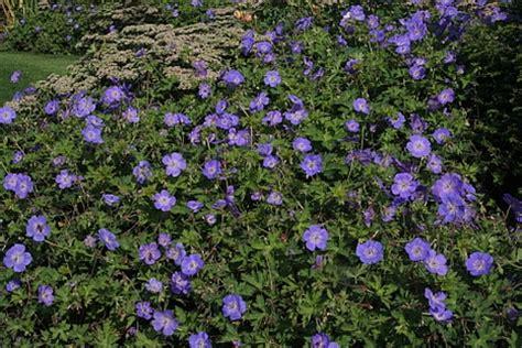 Blumen F R Schattige G Rten 997 by Bodendecker F 252 R Grabbepflanzung Bodendecker