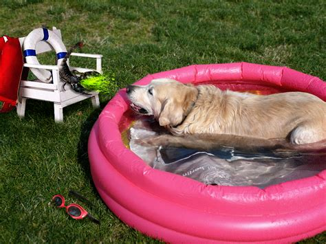 pools for dogs true american barfy scorpion builds swimming pool for dogs
