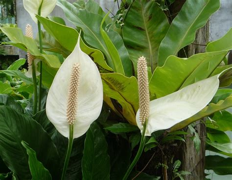 peace lily live in the moment peace lily today s flowers 3