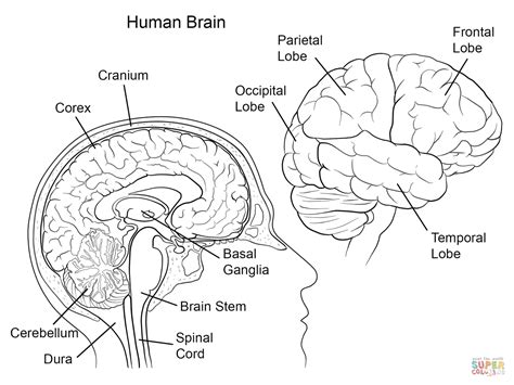 human brain anatomy coloring page free printable