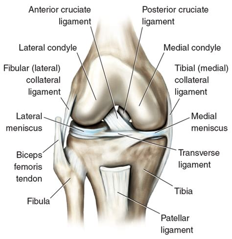 Interior Knee Ligament Knee Joint