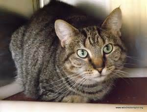 Tango - male tabby domestic shorthair | Adoptable Pets | Pinterest Tabby