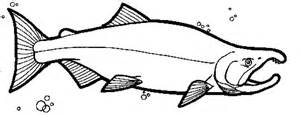 salmon template coho salmon coloring coloring pages