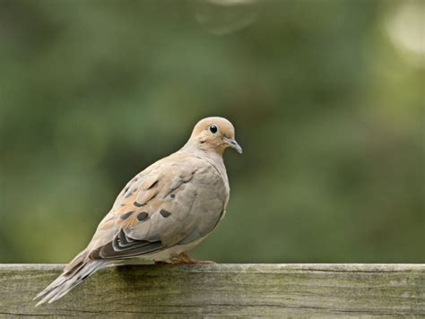 it s open season on mourning doves in parts of ontario
