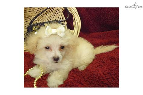 munchkin puppies meet lil munckin a shih poo shihpoo puppy for sale for 425 lil munchkin