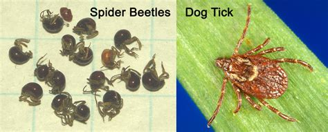 difference between ticks and bed bugs difference between ticks and bed bugs 28 images 7