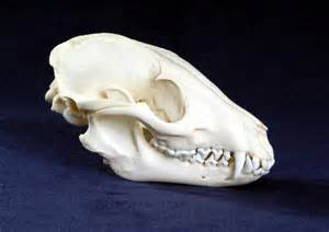 Home Decorating Items Online Gallery For Gt Canidae Skull