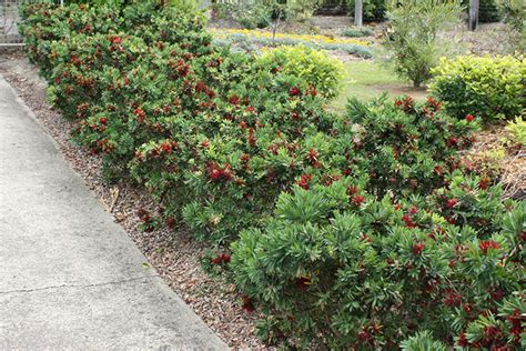 callistemon better better callistemon hedging plant