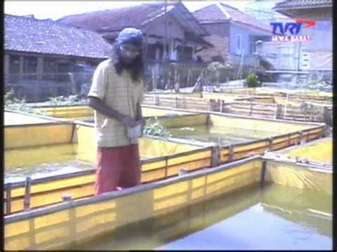 Bibit Lele Sangkuriang Bandung lele sangkuriang bandung