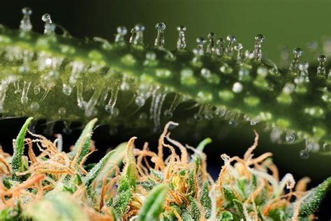 marijuana trichomes how to use trichomes to determine potency and harvest time