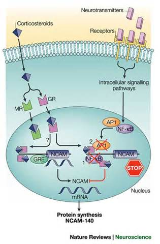 Glucocorticoids Also Search For Figure 3 Stress Cognitive Impairment And Cell Adhesion Molecules Nature Reviews