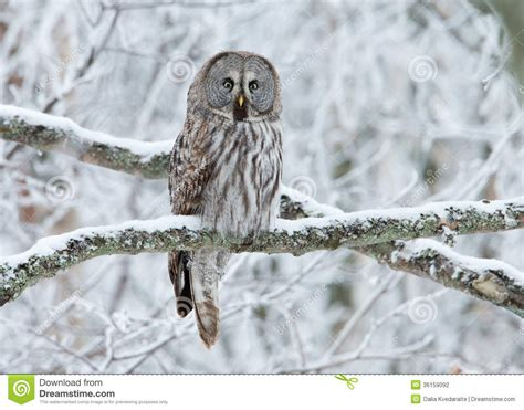 great grey owl strix nebulosa perched   tree stock photography image
