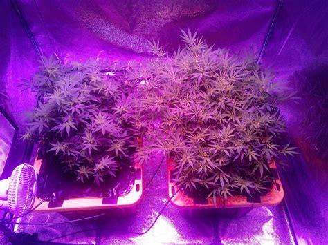 led flowering grow lights k5 xl1000 led grow journal 1 3 lb harvest grow