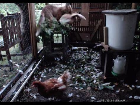 fox  chicken coop youtube
