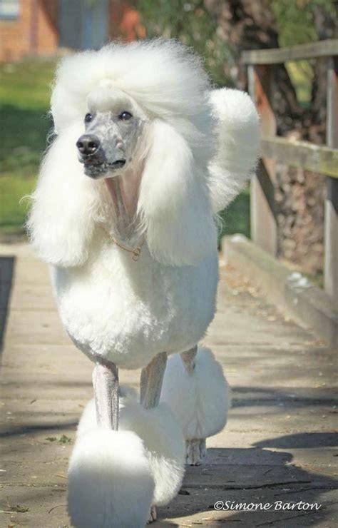poodle with plain hair cut best 25 standard poodles ideas on pinterest