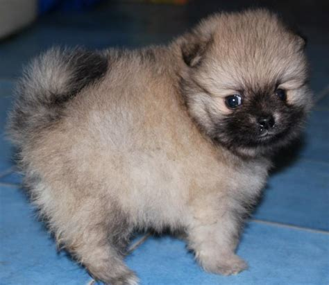how much do pomeranians shed vs