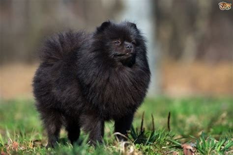 black pomeranian pomeranian breed information buying advice photos and facts pets4homes