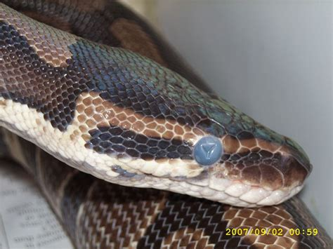 Milk Snake Shedding by Questions About New Python