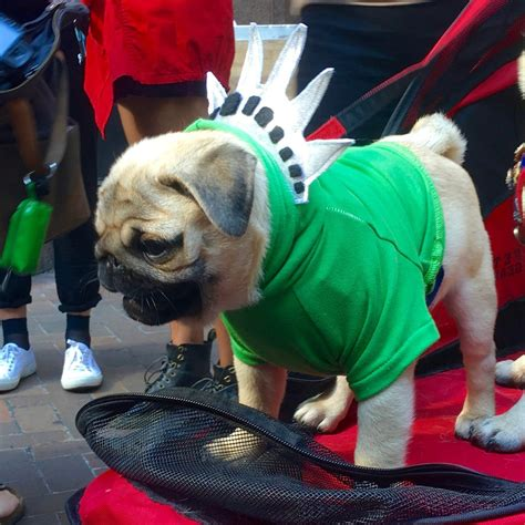 pug puppies nyc pugs take nyc costumes popsugar pets