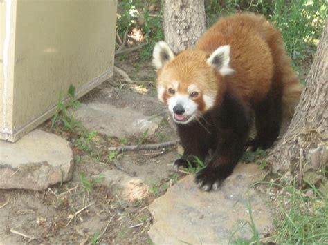 panda at richardson zoo garden city ks garden
