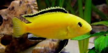 Aquascaping Rocks For Sale Difference Between Mbuna Aulonocara And Haplochromis