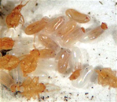 bed bug eggs hatch bed bug faq s