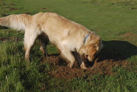 puppy keeps how to stop dogs from digging why do dogs dig holes obedience