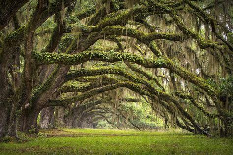 avenue of oaks charleston sc plantation live oak trees