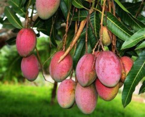 mango tree with fruits mangos king of fruits imagine mexico