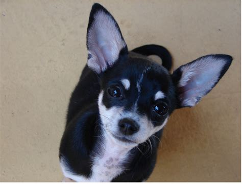 black chihuahua puppies black and white chihuahuas puppy looking up to the png hi res 720p hd