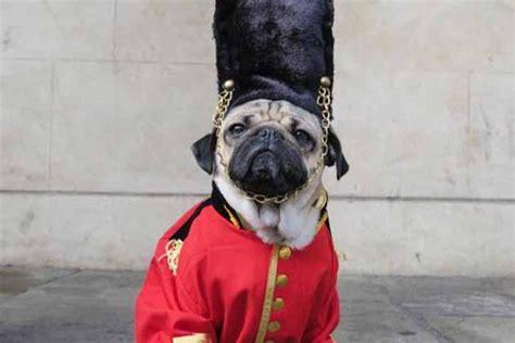 romeo the pug doug the pug gives costume advice east