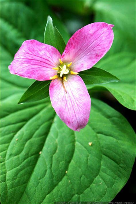 trillium flower pictures white red purple trillium flowers